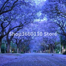 garden flower seedsplants Jacaranda trees large flowering bonsai selling wholesale green 50pcs