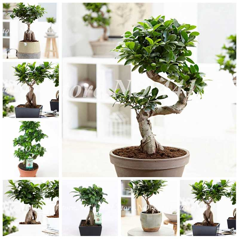 Detail Feedback Questions About 50 Pcs Bag Banyan Tree Bonsai Ficus Ginseng Potted Chinese Indoor Outdoor Rare Microcarpa Green Diy Home