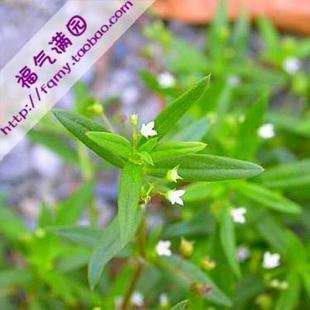 100pcs/bag Hedyotis diffusa Willd Seeds DIY Home Garden