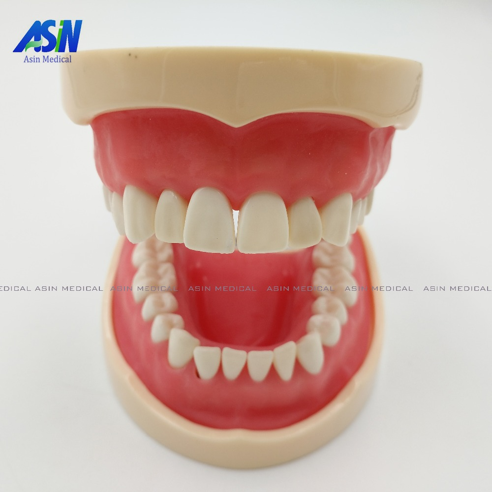 2017 Good quality Standard tooth Model 28pcs Teeth Soft Gum Screw fixed DP Articulator children Dentist student learning mode free shipping good quality dental soft gum teeth model with tougnetypodont w 32 removable teeth nissin 200 compatible