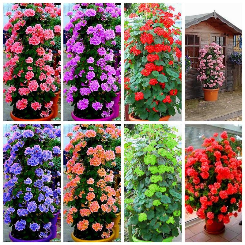 100 Pcs Rare Climbing Geranium Pelargonium Peltatum Tree Bonsai Perennial Flower Indoor Rooms Garden Potted Plant Easy Grow
