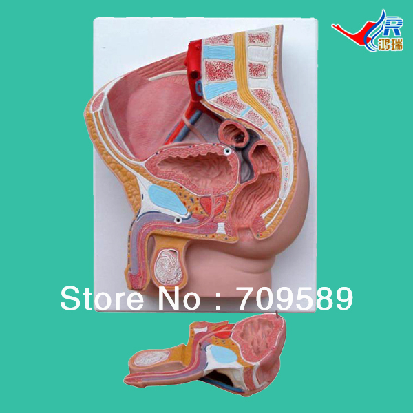 ISO Median section of Male pelvis model, Anatomy pelvis model sagitally section model about tissue decomposition model for doctor patient communication model with magnetic