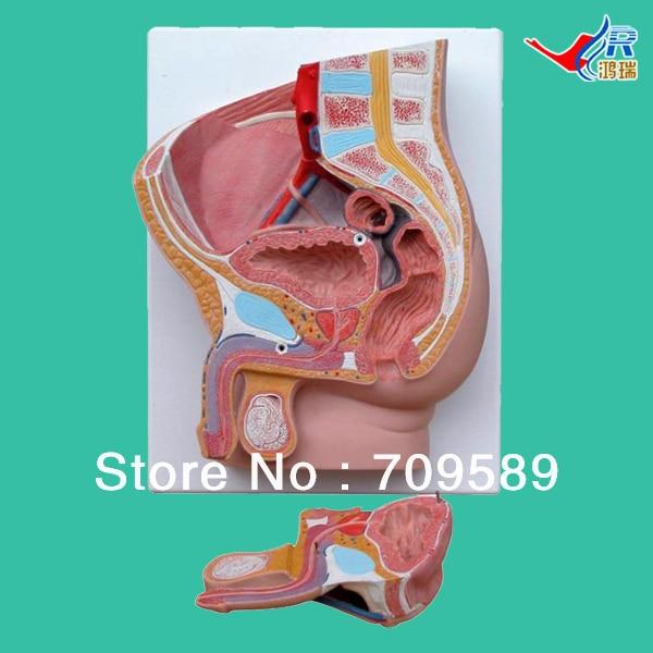 ISO Median section of Male pelvis model, Anatomy pelvis model median section of human head