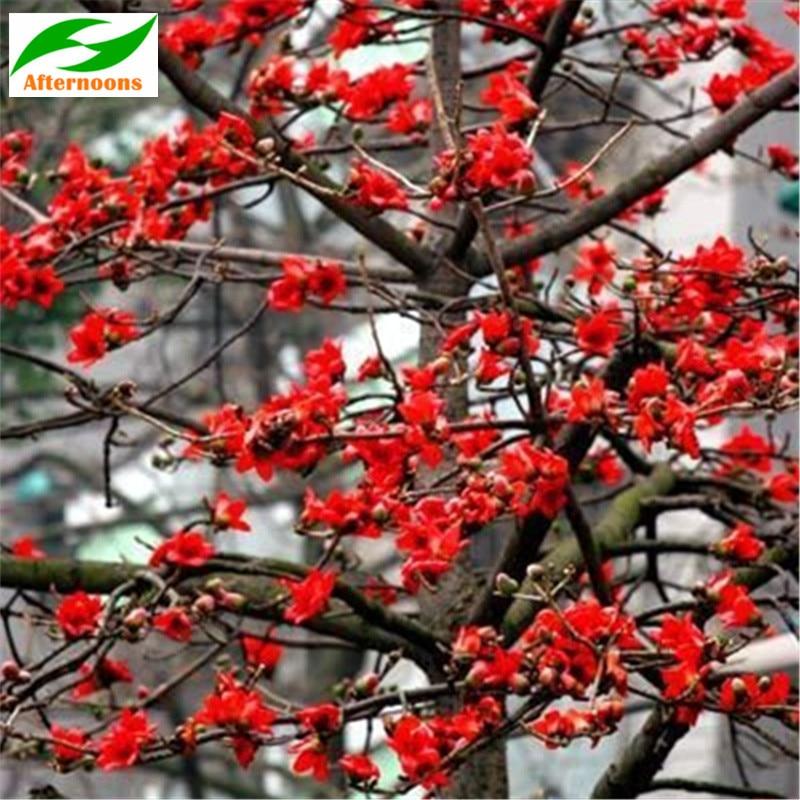 R$ 67 83 |200PCS SILK COTTON TREE SEEDS (Bombax ceiba) Tropical Flower  Medicinal Garden em Bonsai de Casa e jardim no AliExpress com | Alibaba  Group
