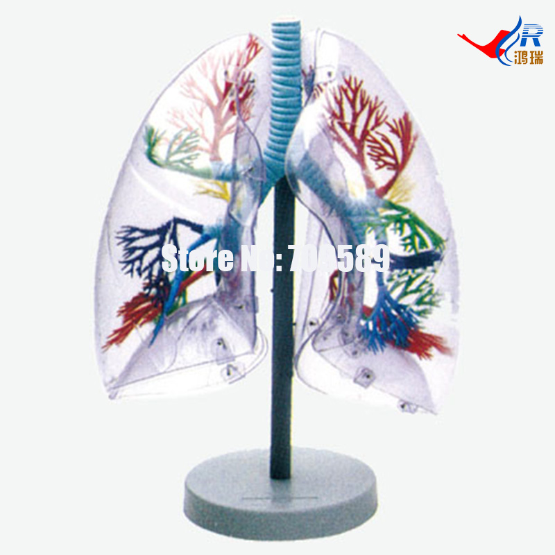 Transparent Lung Segment Model alfa мужчинам