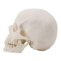 Realistic 1 1 Adult Size Human Skull Replica Resin Art Teaching Model Medical