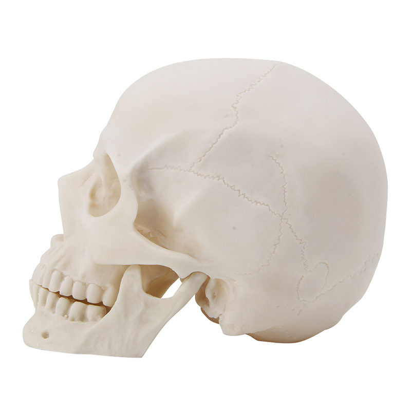 Realistic 1:1 Adult Size Human Skull Replica Resin Art Teaching Model Medical replica bm20 10x20 5x120 d74 1 et40 shb