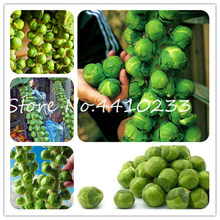50 Pcs Green Thousand-Headed Cabbage Bonsai Brussels Sprouts Delicious Juicy Mini Cabbage Vegetable Garden Food Plant(China)
