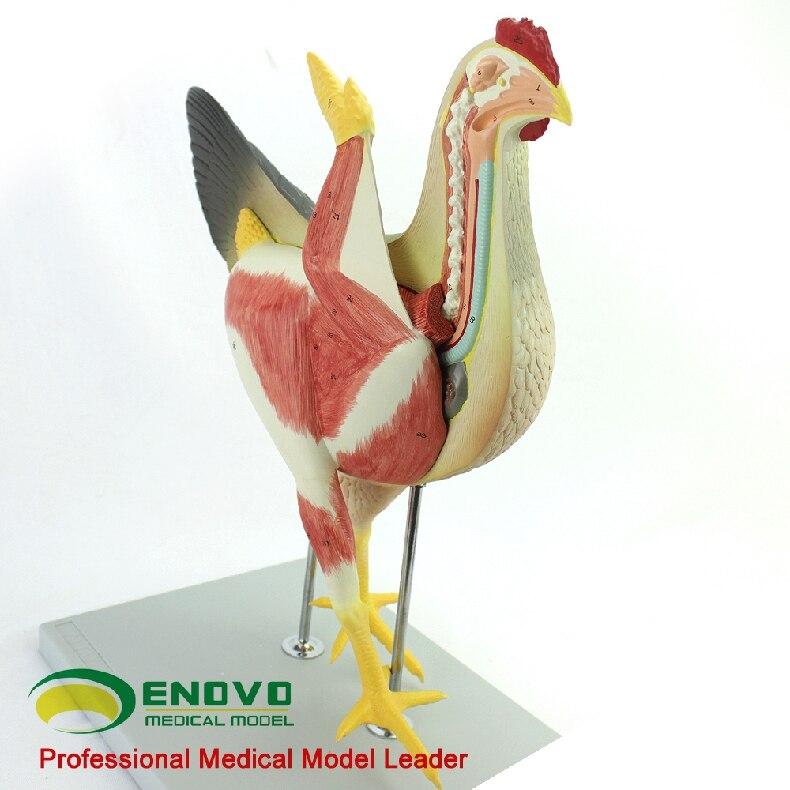 Huhn anatomisches modell 52*38*20 cm geflügel anatomie Orgel ...