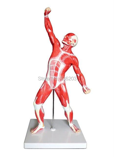1/4 lebensgroße Anatomische Menschlicher Muskel Abbildung Modell ...