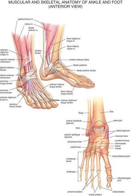 Anatomie Pied 07 musculaire et squelettique l'anatomie de cheville pied antérieur