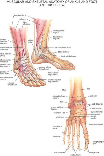 ⑦07 muscular y esquelético anatomía del pie de tobillo anterior 14 ...
