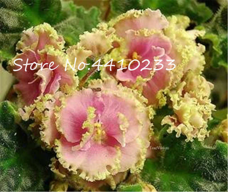 100 Pcs Mini Bonsai สีม่วงหายากแอฟริกันดอกไม้สำหรับ Garden สำหรับมุมมอง Evening-เทียนหอมสต็อกสีม่วงสมุนไพรยืนต้นในร่มพืช