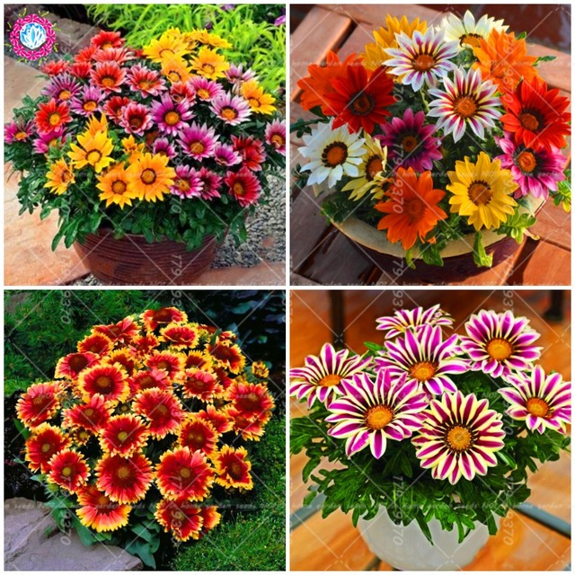 50pcs Gazania Flower Mixed Colors Rare Perennial Indoor Flowers Plant  Bonsai Draft Flower For Home Garden