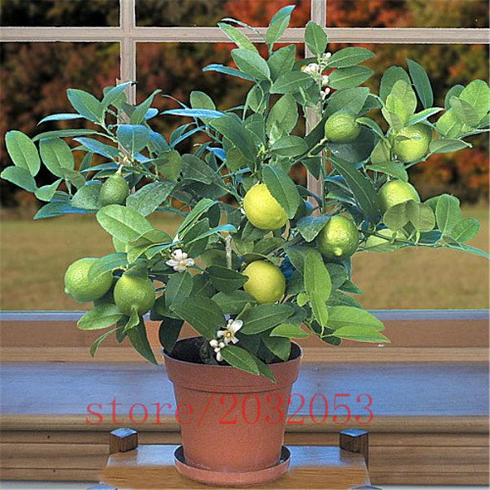 buy 20pcsbag kaffir lime seeds lime seeds citrus organic fruit seeds bonsai fruit lemon tree for home garden from - Kaffir Lime Tree