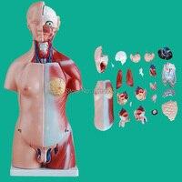 HOT 45CM Unisex Torso With Internal Organs 23 Parts Human Unisex Torso Model