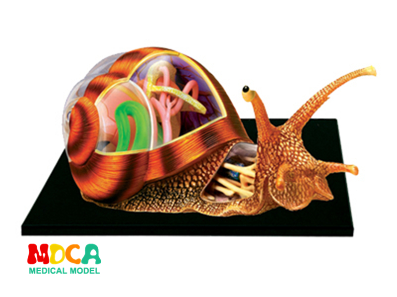 Snail 4d master puzzle Assembling toy Animal Biology organ anatomical model medical teaching model 4d master cat puzzle assembling toy animal biology organ anatomical model medical teaching skull skeleton model science toys