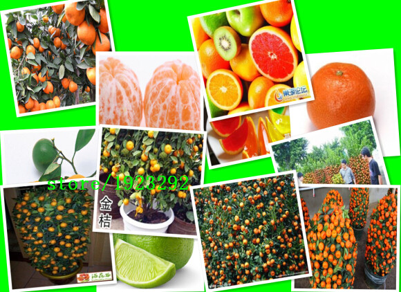 Free shiping 30 Seed orange fireworks-like youth-and-old-age easy-growing