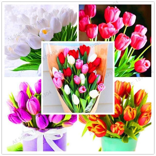 Vrais bulbes de tulipes, variété de tulipes fraîches, bulbes de ...