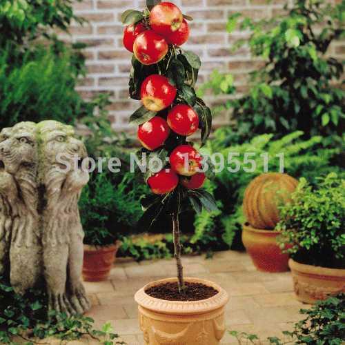 100 pcs Bonsai Apple Tree Seeds rare fruit bonsai tree– America red delicious apple seeds garden for flower pot planters