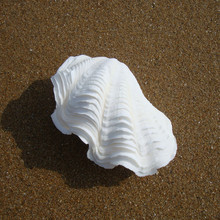 1 conjunto de 8-10cm com hippopus tridacna, gigas, clam gigante, decoração de casa, artesanato, artesanato, artesanato natural