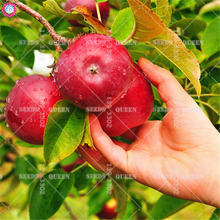 30pcs Succulents Apple Seeds Giant Red Sweet Delicious Fruit Tree Seeds for Home Farm Supplies Bonsai Plants Best Packaging HOT