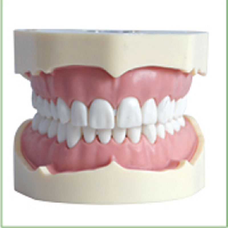 1pc BF Type Study Model teeth models Teeth Jaw Models for dental school teaching dentist dental teeth Models hot teeth development models teeth and jaw development model dental teeth models