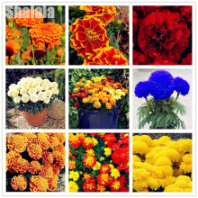 50pcs Colorful Marigold Seeds Bonsai Flower For Indoor Rooms Seed Chrysanthemum Seeds Perennial Flowering