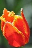 Special christmas gift  5blubs flower seeds orange tulip bulbs sementes de flores casa e jardim garden bonsai tree