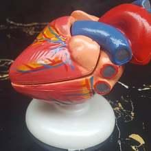 1:1 в натуральную величину медицина медицинская желудочно-кишечный анатомическая модель сердце hunman образовательная винтажная модель сердца человека внутренняя