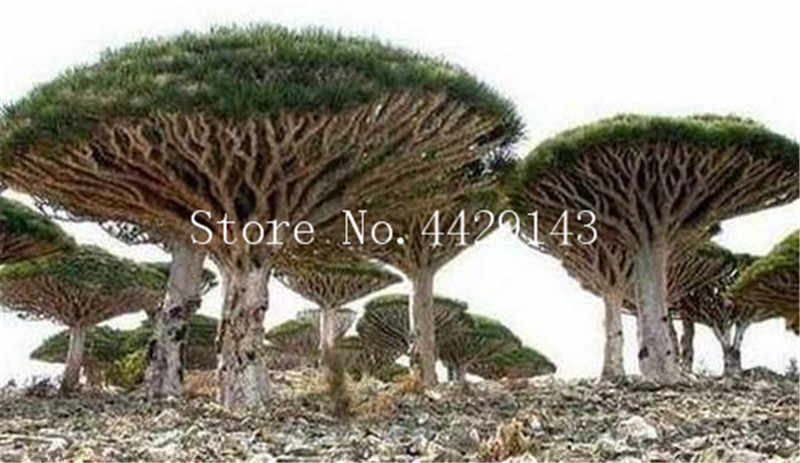 10 Pcs Dracaena Tree Bonsai Dragon Blood Draco Showy Rare