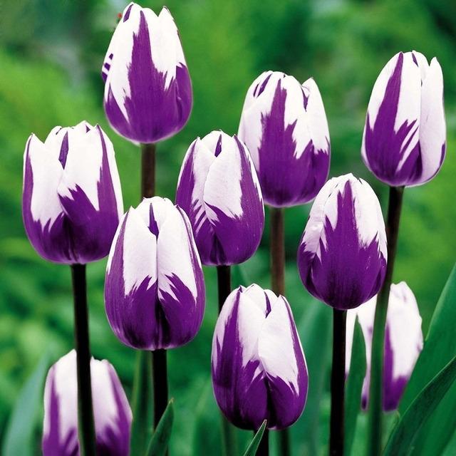 Bonsai Purple White Edge Tulip Seeds Tulip Flower Seeds Perennial Home Garden Potted Plants 120 Particles / lot