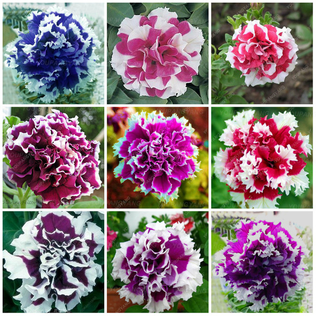 200 قطع نادر جميلة بتونيا زهرة الملونة مزدوجة بتونيا النباتات earsy إلى تنمو بونساي شجرة زهرة ل حديقة