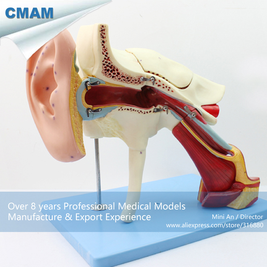 12521 CMAM-EAR06 Removable Labyrinth Human Ear Anatomy Model, Medical Science Educational Teaching Anatomical Models 12400 cmam brain03 human half head cranial and autonomic nerves anatomy medical science educational teaching anatomical models