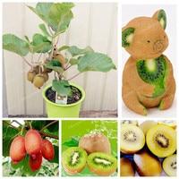 Fresh Kiwi Seeds 100 Real Actinidia Chinensis Seeds Organic High Nutritional Value Bonsai Balconies Fruit Plant