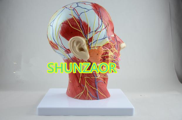 SHUNZAOR Human skull with muscle and nerve blood vessel, head section brain, human anatomy model. School medical teaching medical science colored muscle origins and insertions in half head life size plastic skull model