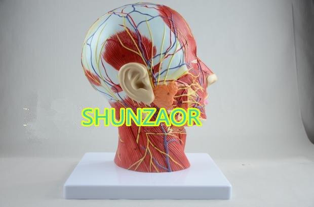 SHUNZAOR crâne Humain avec musculaires et nerveuses des vaisseaux sanguins, tête section cerveau, l'anatomie humaine modèle. l'école d'enseignement médical