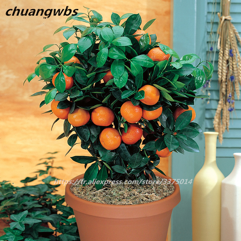 20 pcs bonsai orange seeds NO-GMO mini bonsai tree Fruit Trees Kumquat Seeds Tangerine Citrus for home garden