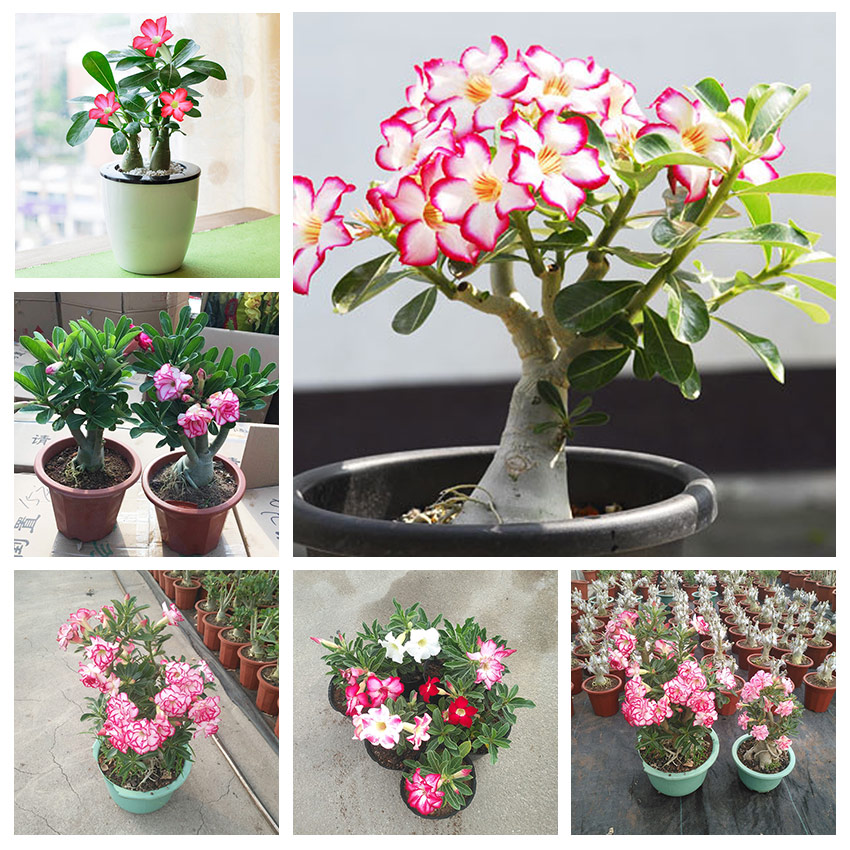 1PC Genuine Desert Rose Seeds Adenium Obesum Seeds Flower Bonsai Seeds Air Purification Home Garden Potted Flower ...