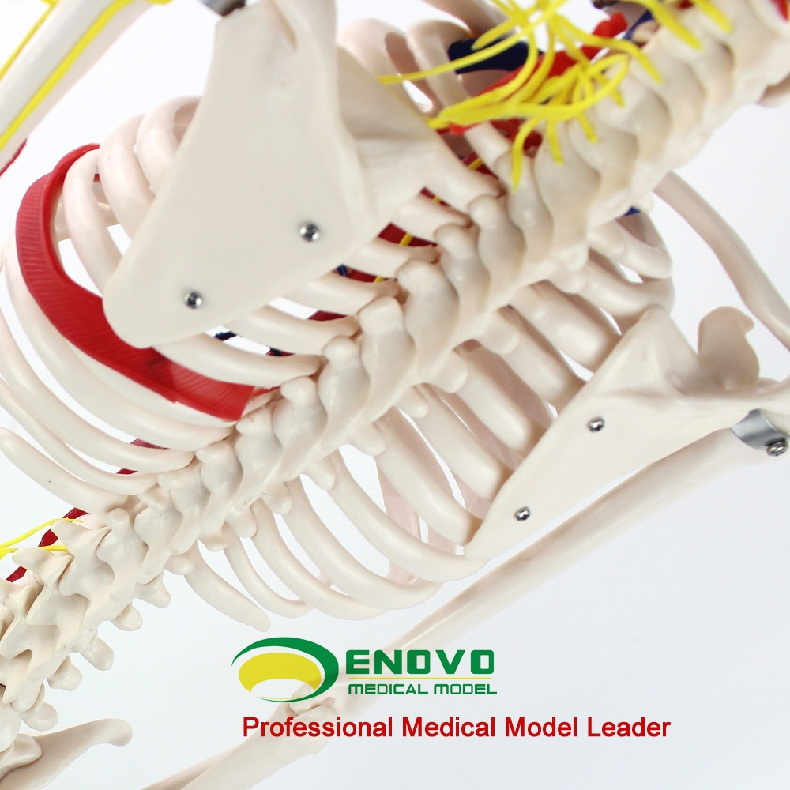 ENOVO Ιατρικό Ανθρώπινο Μοντέλο 85cm - Σχολικά και μαθησιακά υλικά - Φωτογραφία 4