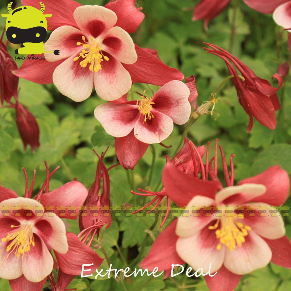 Compare prices on columbine flower online shoppingbuy low price songbird variety linnet columbine bonsai seeds 50 seedspack beautiful aquilegia dhlflorist Images