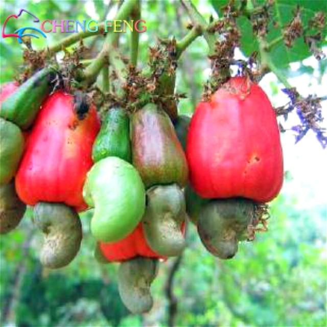 Aliexpress Buy New Garden Plants 10 Seed Mini Cashew Tree – Rare Garden Plants