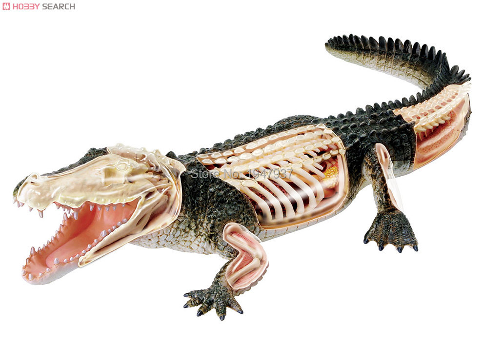 Maestro 4D visión esqueleto anatomia cocodrilo human Anatomy ...