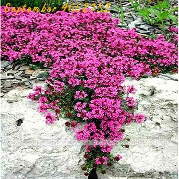 300 Pcs Hijau Lemon Thyme Rumput Bonsai, Ramuan Taman Tanaman Sayuran Bonsai Timus Citriodorus Nyamuk Memukul Mundur Merayap Culin