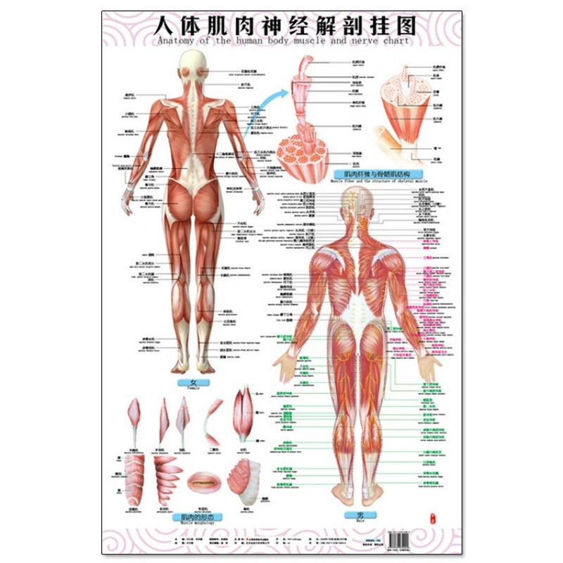 Anatomy of The Human Body Muscle and Nerve Charts 3Pcs (Front Side ...