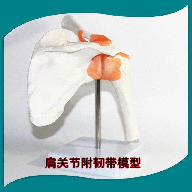 1:1 Tamaño de La Vida Los Seres Humanos Anatomía Odontologia ...