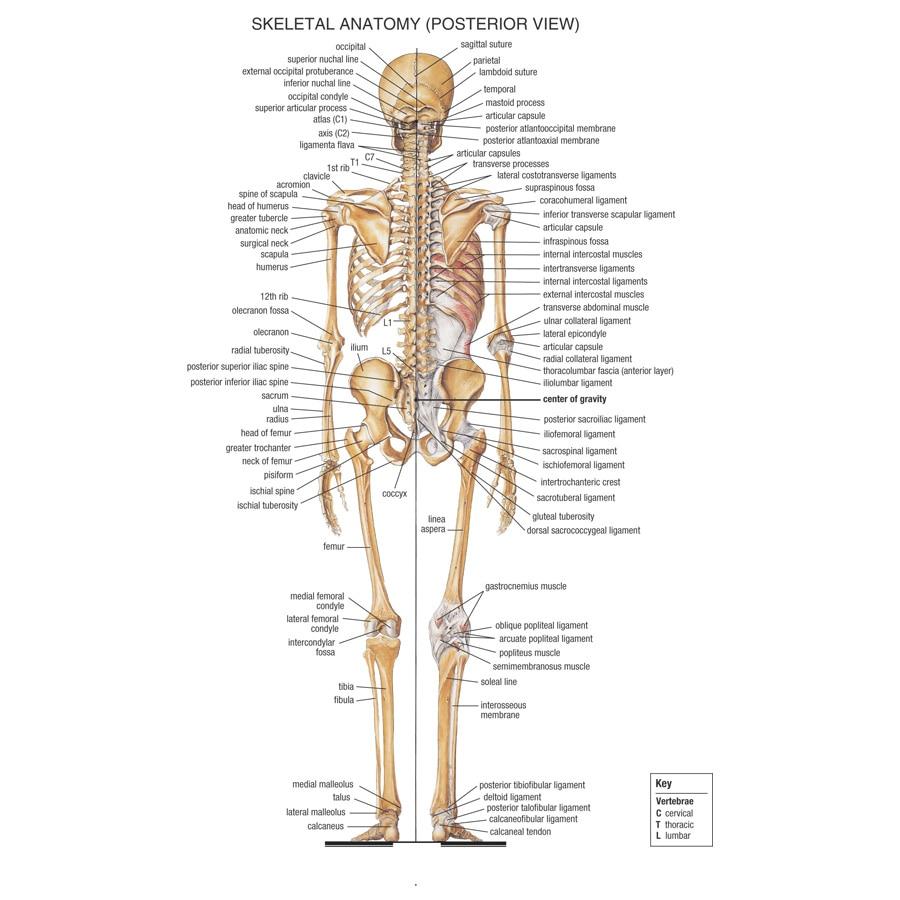 J0871 Menschlichen Körper Struktur Anatomie Diagramm Pop 14x21 24x36 ...