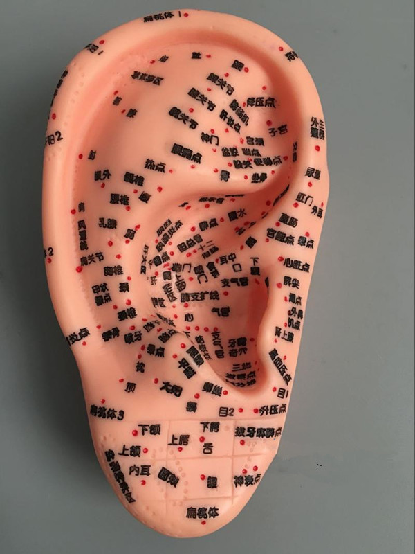 human ear model (Left) 7.5cm Education Model Ear Model For Hearing Aids with Achupuncture points ear model