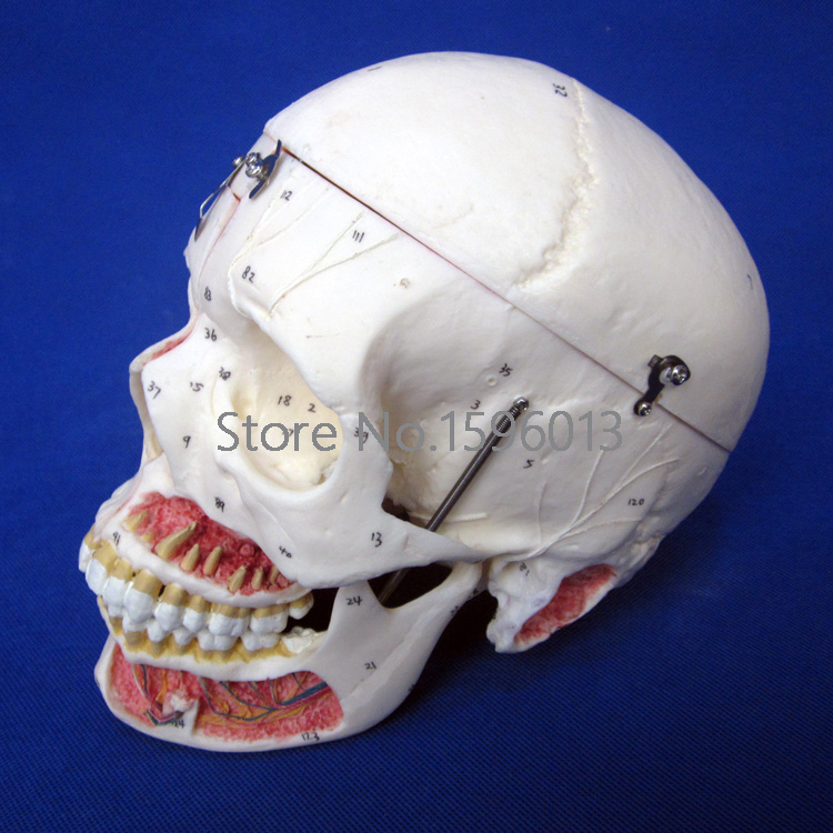 Disassembled Adult Skull Model with Blood Vessels and Nerves, 10 Parts Adult Skull with Neurovascular
