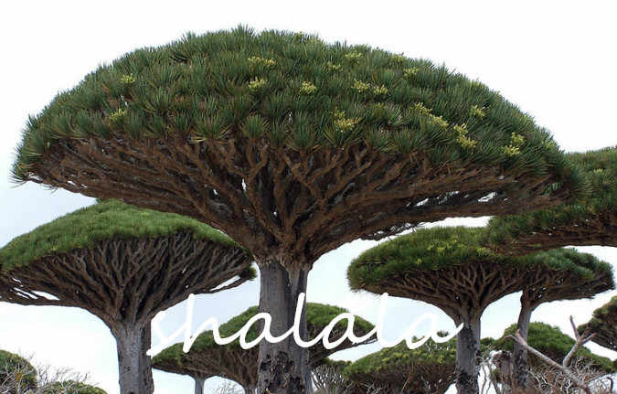 20 шт. Дракон кровь дерево (драцена сандериана) драцена деревья четыре сезона хорошо держать Многолетние растения дерево открытый бонсай цветок